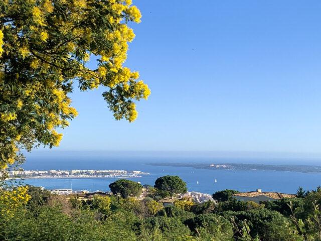 Die Mimosen blühen in Cannes. Foto: Hilke Maunder