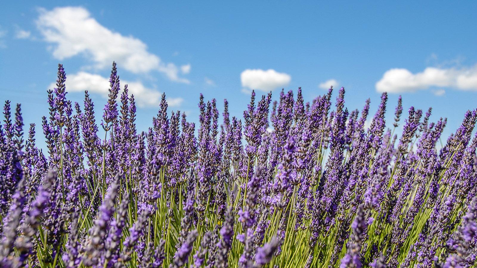 Blühender Lavendel. Foto: Hilke Maunder
